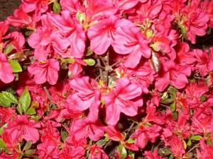 azalea-gardening-spring gardening-four season interest