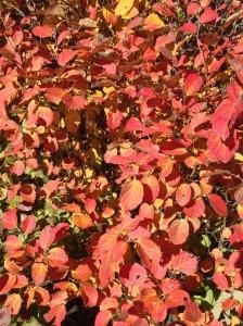 fothergilla-four season interest-garden design